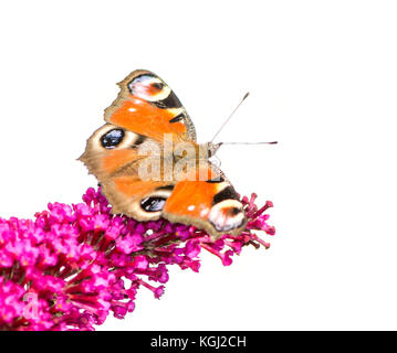 European peacock butterfly sitting on a flower. - Stock Photo