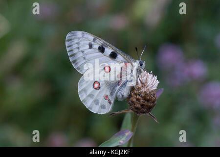 Apollo butterfly ,Parnassius apollo. - Stock Photo