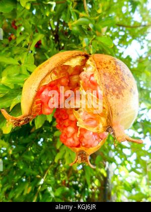 Pomegranate ( Punica granatum) with split skin on the tree in Marmaris, Turkey - Stock Photo