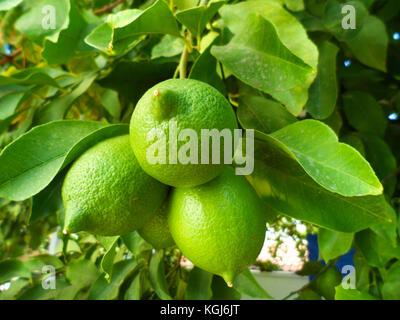 Lisbon Lemons on the tree, Citrus limon 'Lisbon', in a garden in marmaris, Mugla province, Turkey - Stock Photo