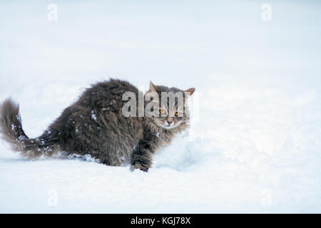 Portrait of gray Siberian cat walking outdoors in winter in the deep snow - Stock Photo