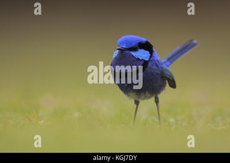 Splendid Fairy-wren - Stock Photo