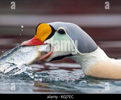 A greedy King Eider feeding on herring in Batsfjord harbor - Stock Photo