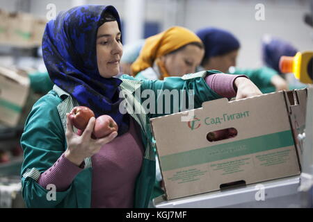 Magas, Russia. 7th Nov, 2017. A worker holds apples as a delegation of representatives of Arab countries visits - Stock Photo