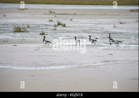 Brent or Brant Geese Branta bernicla feeding on the tidal mudflats near Holy Island Lindisfarne on the North East - Stock Photo
