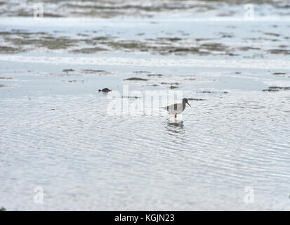 Redshank Tringa totanus searching for food on the mudflats on lindisfarne Holy Island North East Coast Of England, - Stock Photo