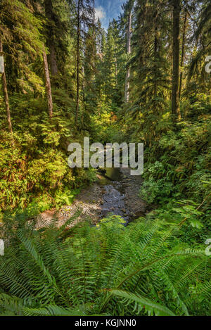Ferns over Willaby Creek, Rain Forest Nature Trail, Quinault Valley, Olympic National Forest, Washington state, - Stock Photo