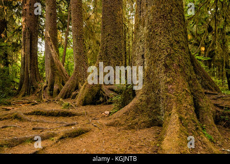 Colonnade of Sitka spruce, western hemlock growing in straight line over remains of its nurse log, Hoh Rain Forest, - Stock Photo