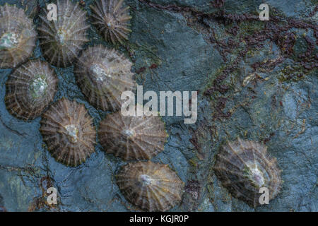 Cluster of Common Limpets (Patella vulgata) on a rocky outcrop at low tide. Limpets are an edible shellfish - more - Stock Photo