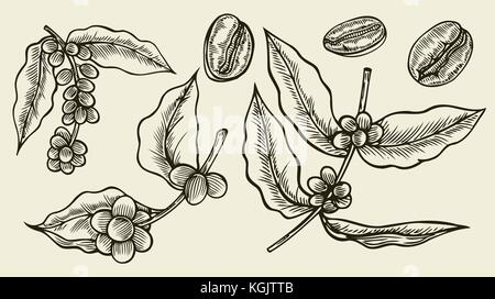 Coffee branch. Plant with coffee leaves Hand drawn vintage botanical collections of coffee, vector illustration. - Stock Photo