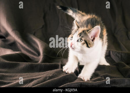 Horizontal photo of small kitten with white fur. Baby cat is tabby on head and back with red spots. Animal is crouched - Stock Photo