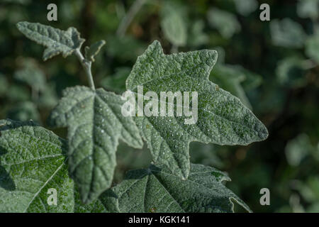 Close up downy White Poplar / Populus alba leaf with fine droplets of morning dew.a species favouring moist ground. - Stock Photo