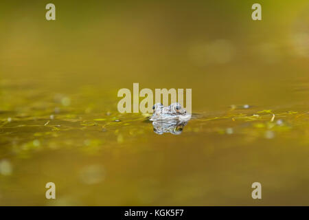 Common Frog; Rana temporaria Single in Pool Falls of Bruar; Scotland; UK - Stock Photo