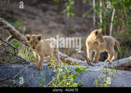 Two lion cubs (Panthera leo) exploring their enviromnent - Stock Photo