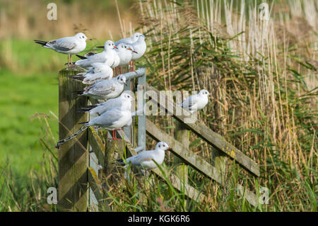 Black Headed Gulls (Chroicocephalus ridibundus) in Winter plumage perched on a fence in a field in Winter in the - Stock Photo
