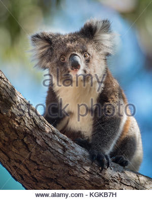 A koala, Phascolarctos cinereus, sitting upright in a  tree. - Stock Photo