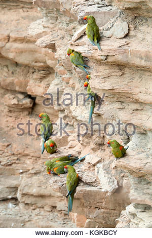 Globally endangered red-fronted Macaws, Ara rubrogenys, roosting on a cliff with nests. - Stock Photo