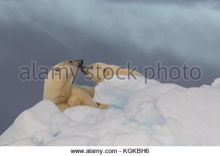A mother polar bear and its yearling cub nuzzle each other. - Stock Photo