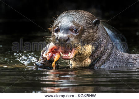A giant otter or giant river otter, Pteronura brasiliensis, eats a fish. - Stock Photo