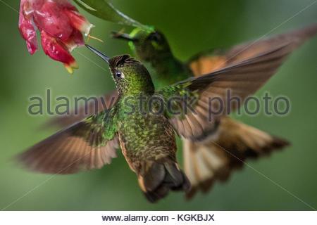 A buff-tailed Coronet hummingbird, Boissonneaua Flavescens, drinks from a flower. - Stock Photo