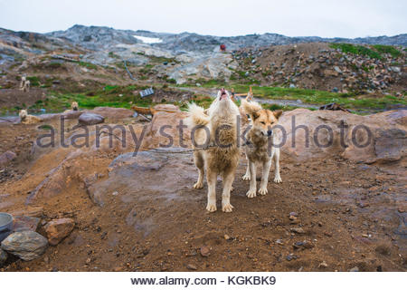 Two Greenlandic dogs chained to a post, one howling. - Stock Photo