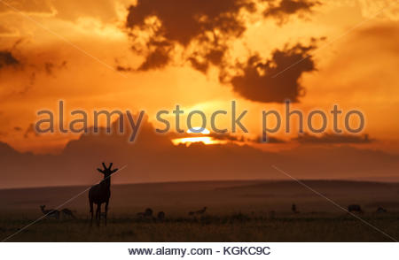 Topis at dawn, Damaliscus lunatus, in Masai Mara National Reserve. - Stock Photo