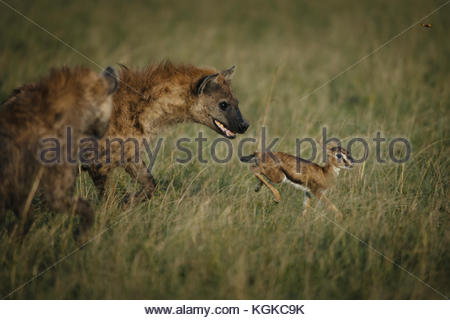 Spotted hyenas, Crocuta crocuta, hunting a newly born Thompson's Gazelle in the Masai Mara Reserve. - Stock Photo