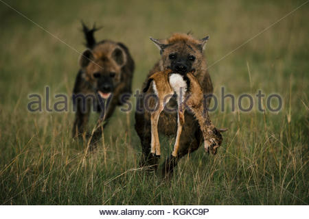 Spotted hyenas, Crocuta crocuta, with a freshly killed newborn Thompson's Gazelle in the Masai Mara Reserve. - Stock Photo