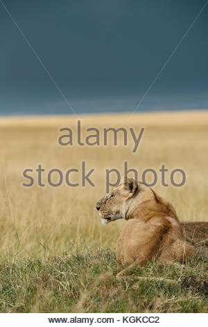 A lioness, Panthera leo, resting on a hill top, in Masai Mara National Reserve. - Stock Photo