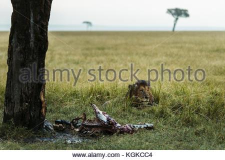 Male lion, Panthera leo, under an heavy rain on a killed zebra in the Masai Mara National Reserve. - Stock Photo