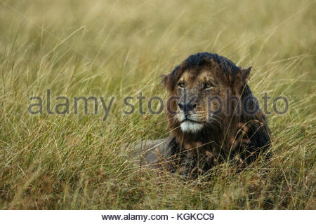 African Lion, Panthera leo, female in rainstorm, in Masai Mara National Reserve. - Stock Photo