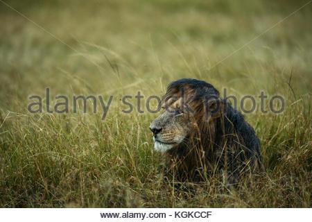 African Lion, Panthera leo, female in rainstorm, in Masai Mara National Reserve. - Stock Photo