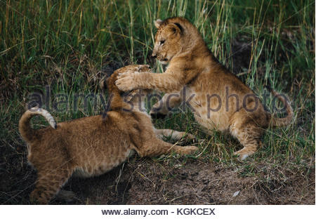 Lion cubs playing, Panthera leo, in Masai Mara National Reserve. - Stock Photo