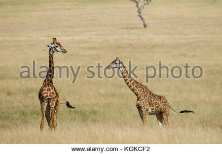 A group of giraffe, Giraffa camelopardalis, walking through tall grass, Masai Mara National Reserve. - Stock Photo