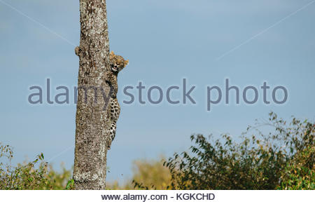 A young leopard, Panthera pardus, ascending a tree trunk, in Masai Mara National Reserve. - Stock Photo