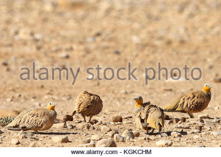 Spotted sandgrouse, Pterocles senegallus, on ground. - Stock Photo