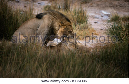 Male lion and lioness, Panthera leo, mating in tall grasses. - Stock Photo