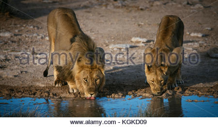 A male Lion and a lioness, Panthera leo, drinking at a waterhole early in the morning. - Stock Photo