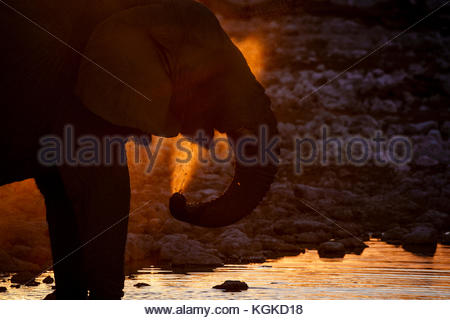 African elephant, Loxodonta africana, spraying itself at a waterhole at sunset. - Stock Photo