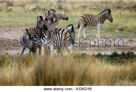 A group of alert plains zebras, Equus burchellii, at a waterhole. - Stock Photo