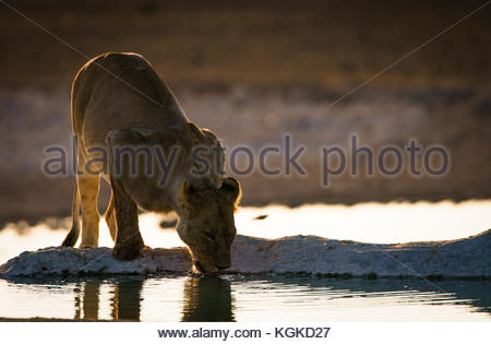 A lioness, Panthera leo, drinking early in a morning at a waterhole. - Stock Photo