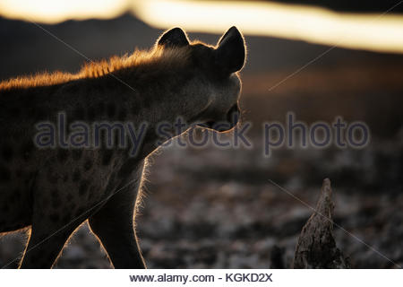 A Spotted hyena, Crocuta crocuta, walking at sunrise. - Stock Photo