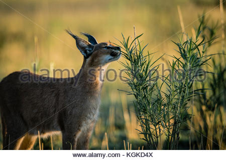 Portrait of a caracal, Caracal caracal, walking across branches. - Stock Photo