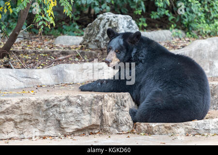 American Black Bear Sitting on Ground and Looking at Camera - Stock Photo