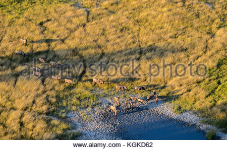 Aerial view of a group of wildebeest walking to a waterhole. - Stock Photo