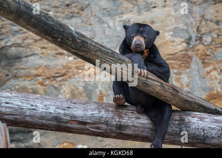 American Black Bear Cub Sitting on Trunk and Looking at Camera - Stock Photo