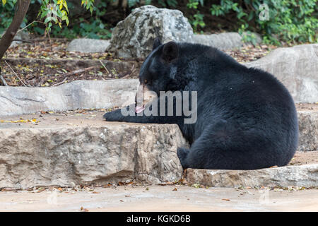 Black Bear Cleaning His Fur With Tongue - Stock Photo