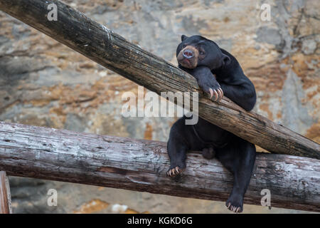 Black Bear Cub Resting on Tree Trunk - Stock Photo