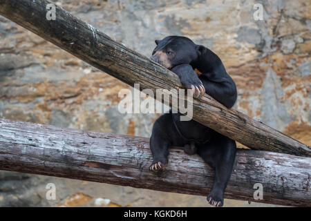 Black Bear Cub Resting on Tree with Large Nails Showing - Stock Photo
