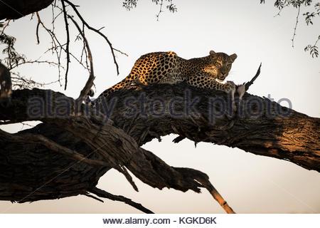 A male leopard resting on a tree branch eating its prey in Khwai Concession. - Stock Photo